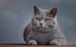 Picture cat, cat, look, face, background, portrait, lies, grey, yellow eyes, British