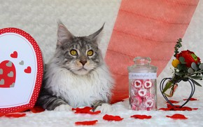 Picture cat, cat, look, face, flowers, grey, background, holiday, box, heart, portrait, roses, bouquet, petals, candy, …