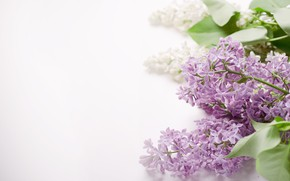 Picture flowers, spring, lilac