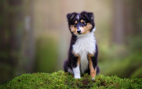 Picture look, nature, green, background, moss, dog, baby, puppy, face, collie, sheltie