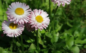 Picture macro, flowers, flowers, macro, daisies, Daisy