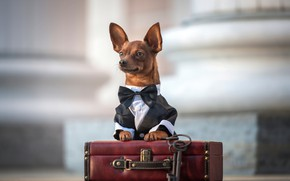 Picture look, suitcase, ears, keys, face, doggie, Chihuahua, bow tie, dog, Ирина Ковалёва