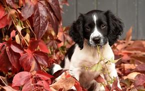 Picture autumn, leaves, puppy, doggie, English Springer Spaniel