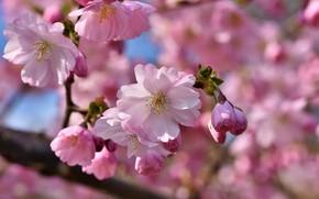 Picture flower, flowers, Apple, flower, flowers, Apple tree