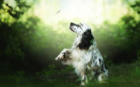 Picture greens, summer, look, flight, nature, pose, Park, background, butterfly, foliage, paw, dog, insect, the observer, …