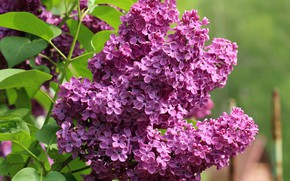 Picture flowers, background, branch, spring, flowering, lilac, inflorescence