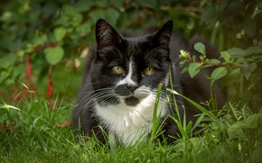 Picture cat, grass, look, muzzle