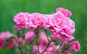 Picture pink, rose, Bush, garden, tea