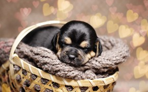 Picture background, each, basket, puppy, bokeh