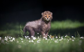 Picture flowers, glade, baby, Cheetah, cub