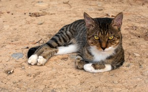 Picture cat, cat, look, face, grey, lies, striped, yellow eyes, cute
