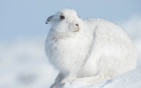 Picture winter, look, face, snow, close-up, pose, hare, portrait, sitting, Bunny, Whitey
