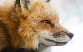 Picture muzzle, Fox, light background