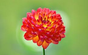 Picture macro, petals, Bud, Dahlia
