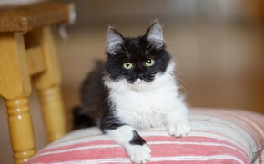 Picture cat, look, kitty, black and white, fluffy, muzzle, chair, cute, pillow, kitty