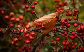 Picture autumn, branches, berries, leaf, fruit, bokeh, autumn leaves, hawthorn, autumn leaf