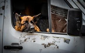 Picture dog, car, shepherd