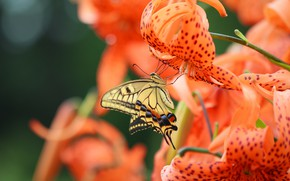 Picture macro, flowers, butterfly, Lily, Swallowtail