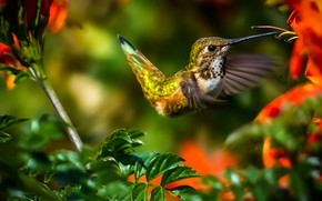 Picture leaves, flowers, branches, nature, Hummingbird, bird