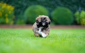 Picture glade, dog, running, puppy, lawn, Shih Tzu