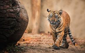 Picture tiger, background, walk, log, tiger, tiger