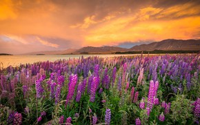 Picture landscape, sunset, flowers, mountains, nature, lake, shore, New Zealand, Lake Tekapo, lupins