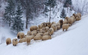Picture winter, mountains, sheep, flock