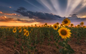 Picture field, summer, the sky, clouds, rays, light, sunflowers, landscape, sunset, flowers, clouds, the evening, yellow, …