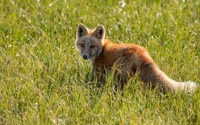 Picture grass, glade, Fox, Fox