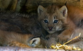 Picture baby, lies, lynx, face, a small lynx, a small lynx, mom
