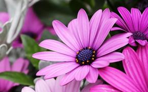 Picture macro, flowers, petals, pink, lilac, osteospermum