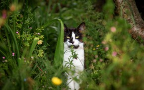 Picture cat, summer, grass, cat, look, nature, black and white