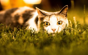 Picture cat, summer, grass, cat, look, face, light, hunting, watchful eyes