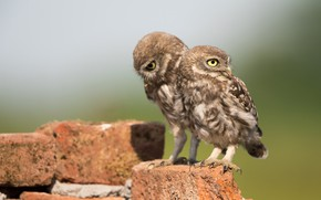 Picture look, light, birds, stones, background, owl, two, pair, bricks, owls, a couple, Duo, two, motley, …
