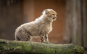 Picture look, pose, kitty, baby, Cheetah, cub