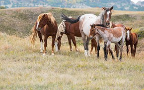 Picture nature, horses, horse, the herd