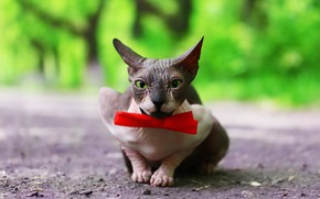 Picture cat, background, bow, cat