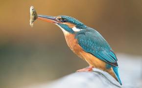 Picture background, bird, fish, fish, branch, bird, mining, Kingfisher, bright plumage, meal, bird