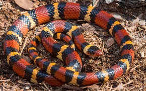 Picture snake, red, striped