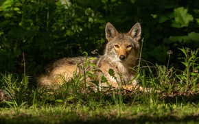 Picture grass, look, face, stay, wolf, lies, the bushes, coyote, in the shadows