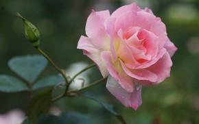 Picture drops, pink, rose, petals, Bud, bokeh