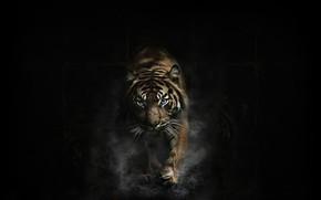 Picture Dark, Tiger, Animal