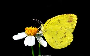 Picture butterfly, black background, yellow butterfly