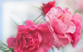 Picture background, roses, pink, photoart