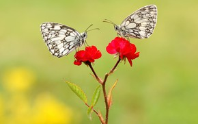 Picture macro, butterfly, flowers, insects, background, butterfly, two, roses, stem, pair, red, white, a couple, Duo, …