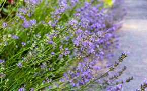 Picture Lavanda, nature macro, цветущая лаванда, лавандовый цветок, цветок на улице