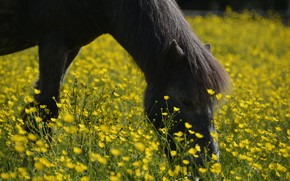 Picture face, flowers, horse, glade, horse, yellow, black, pony, bangs, buttercups, grazing