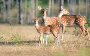 Picture summer, nature, deer