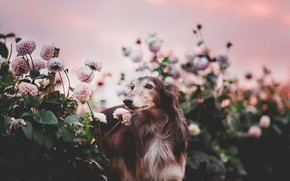 Picture flowers, nature, dog