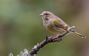 Picture bird, branch, Chizh